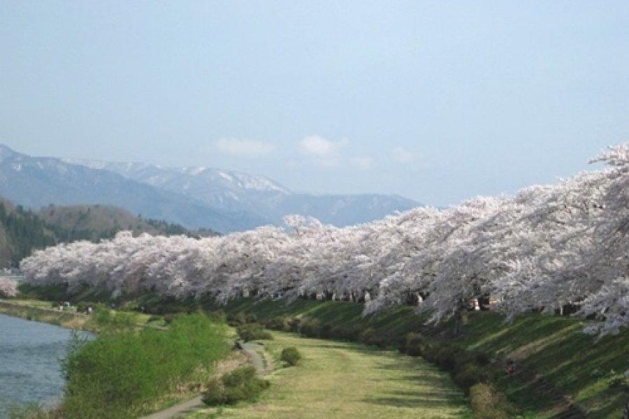 Elkezdődtek a Sakura Matsurik